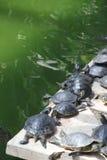 Kleine groene schildpadden Royalty-vrije Stock Afbeeldingen