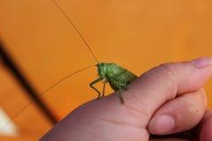 Kleine groene sprinkhaan Stock Foto