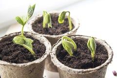 Kleine groene spruiten in turfpotten op het venster Royalty-vrije Stock Foto's