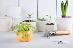 Kleine groene spruiten van arugula royalty-vrije stock foto's