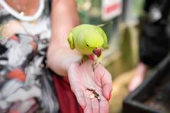 Kleine groene wilde papegaai in de regenwoudzitting op hand, die een stuk van mango eten Selectieve nadruk Close-up De ruimte van stock foto