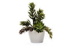 Kleine groene zaailing Royalty-vrije Stock Foto