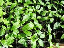 Kleine groene zaailingen van peper Royalty-vrije Stock Foto's