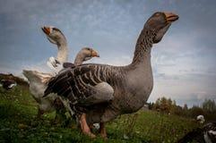 Kleine groep die wilde ganzen op gras loopt Royalty-vrije Stock Foto
