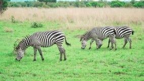 Kleine groep die zebras groen gras in savanne eten stock videobeelden