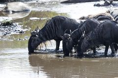 Kleine groep Wit gebaard Wildebeest gedronken water in klein r stock afbeelding