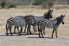 Kleine groep zebras in droge savanne - Tanzania stock foto