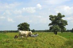 Kleine Gruppe Kühe auf einem geöffneten Gebiet in Holland Lizenzfreies Stockbild