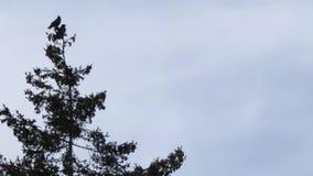 Kleine Gruppe Krähen gehockt auf Kiefer stock footage