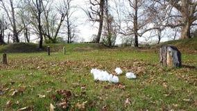 Kleine Gruppe weiße Tauben, die Gras essen stock video