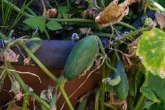 Kleine Gurke auf Gartenbett in einem Fass lizenzfreie stockfotos