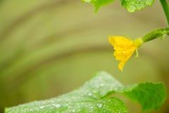 Kleine Gurke mit Blume Lizenzfreies Stockfoto