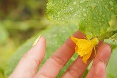 Kleine Gurke mit Blume Lizenzfreie Stockbilder