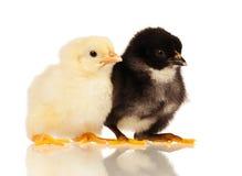 Kleine Hühner Stockfoto