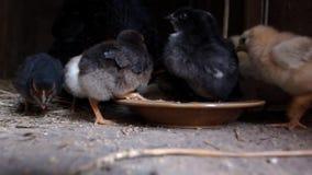 Kleine Hühner Lizenzfreies Stockbild