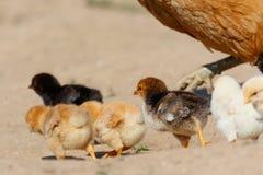 Kleine Hühner auf Bauernhof Lizenzfreies Stockbild