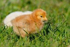 Kleine Hühner auf Bauernhof Stockfotos