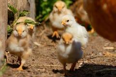 Kleine Hühner auf Bauernhof Stockbild