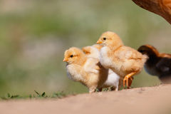 Kleine Hühner auf Bauernhof Stockbilder