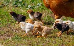 Kleine Hühner auf Bauernhof Stockfoto