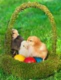 Kleine Hühner im Korb mit Eiern Lizenzfreie Stockfotografie