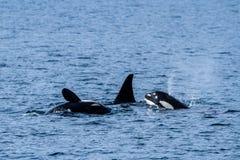 Kleine Hülse von Schwertwalen vor der Küste von Seward, Alaska Lizenzfreies Stockfoto