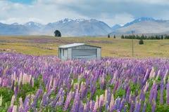 Kleine Hütte über Bedingung der vollen Blüte der Lupine mit Gebirgshintergrund stockfotografie