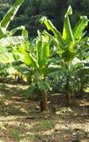 Kleine haan die in het midden van een banaangewas aan Martinique lopen stock afbeelding