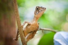 Kleine hagedis op een boom Mooi close-up dierlijk reptieloog in de habitat van het aardwild, Sinharaja, Sri Lanka stock afbeelding