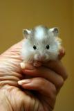 Kleine hamster - 1 royalty-vrije stock afbeelding