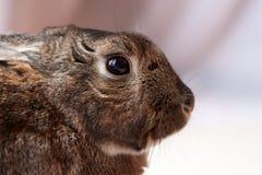 Kleine Hauskaninchenmischung mit leichtem Blick in den Augen im weichen Hintergrund Lizenzfreies Stockfoto