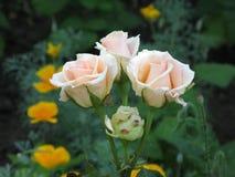 Kleine hellrosa Rosen Stockfotos