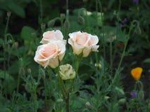 Kleine hellrosa Rosen Stockbild