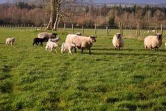 Kleine Herde der Schafe und der Lämmer Stockfotografie