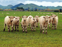 Kleine Herde von Charolais Lizenzfreie Stockfotografie