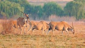 Kleine Herde von Eland Stockfotografie
