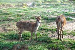 Kleine Herten of Damhinde op Groene Weiland of Weide of Weide in Misty Morning During Sunrise Het Hert is zonder Geweitakken stock afbeelding