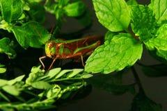 Kleine Heuschrecke decken auf einem grünen Blatt auf Stockfotografie