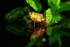 Kleine Heuschrecke decken auf einem grünen Blatt auf Stockfotos