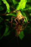 Kleine Heuschrecke decken auf einem grünen Blatt auf Lizenzfreie Stockfotos