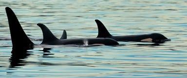 Kleine Hülse der Schwertwale Stockbild