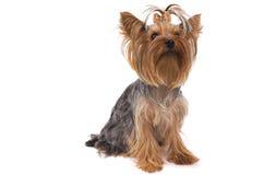 Kleine hond Royalty-vrije Stock Afbeelding
