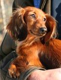 Kleine hond royalty-vrije stock foto