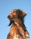 Kleine hond Stock Fotografie