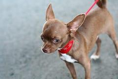 Kleine hond Stock Afbeeldingen