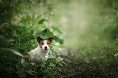 Kleine hond in de regenhuiden onder een blad stock fotografie
