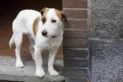 Kleine hond in deuropening Royalty-vrije Stock Afbeeldingen