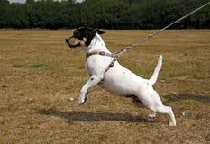 Kleine hond die op een lood trekt Stock Foto's