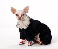 Kleine hond in doek Royalty-vrije Stock Fotografie