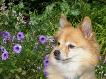 Kleine Hond en Petunia Stock Foto